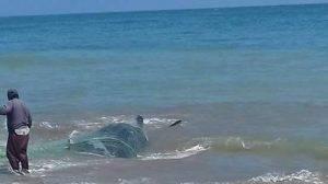 tiburon ballena rescatdo en zorritos
