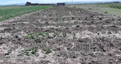 Puno: Heladas en la afectan cultivos de pan llevar en la Región.